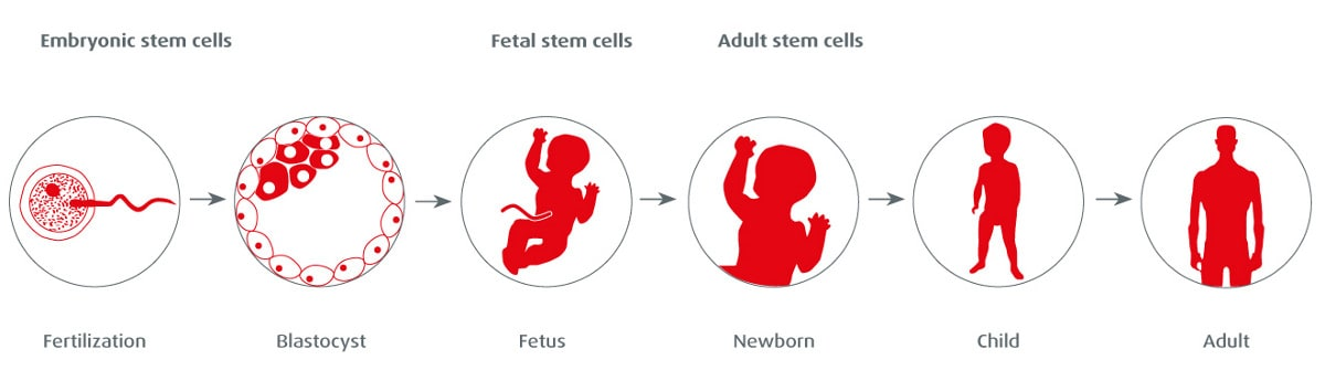 stem-cells-types-tasks-ontogenesis